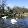 swans at slipway
